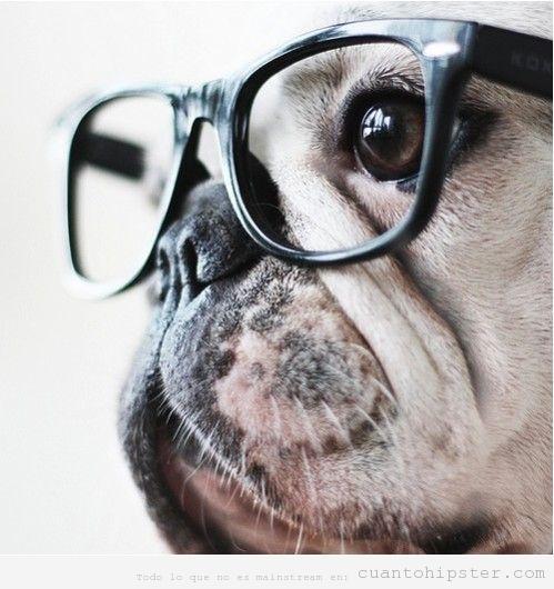 Carlino o pug con gafas de pasta