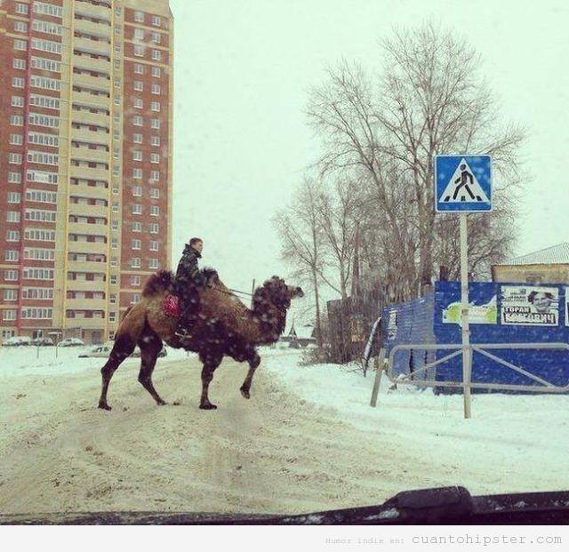 Foto curiosa de un camello en la ciudad