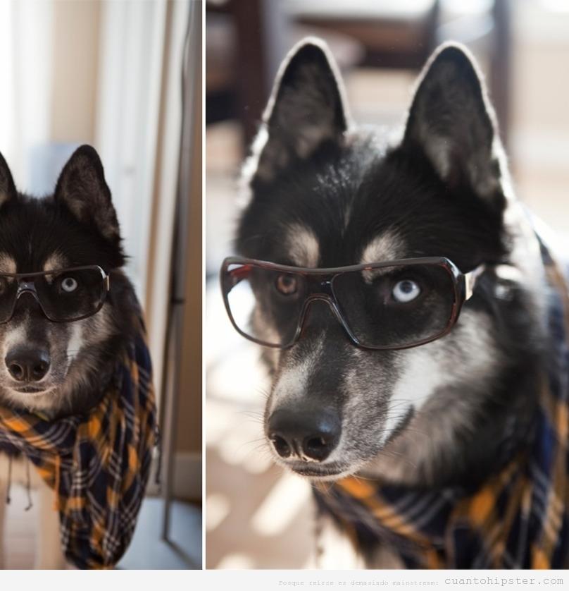 Perros huskies  con look y moda hipster 3