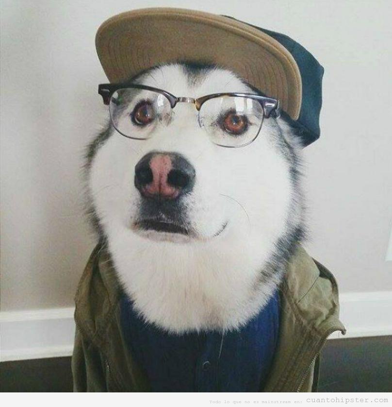 Perros huskies con look y moda hipster