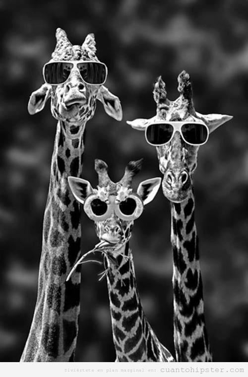 Jirafas indies con gafas de sol hipsters