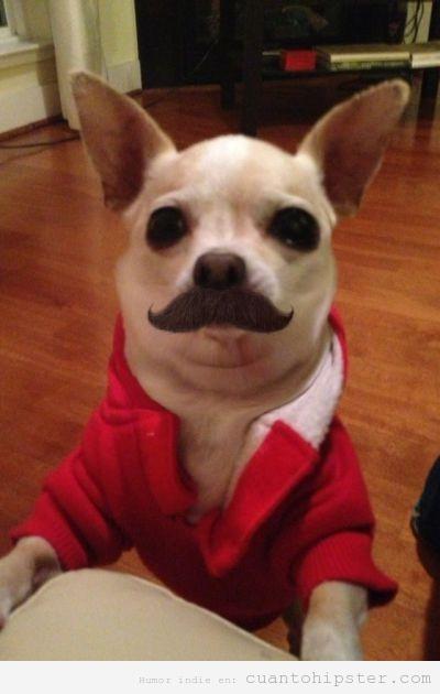 Foto graciosa de un perro Chihuahua bigote hipstes