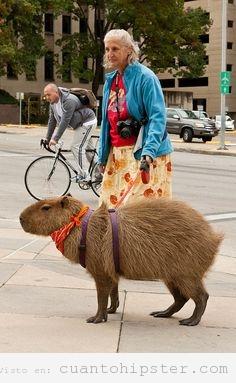 Foto curiosa de una mujer paseando a  un capibara