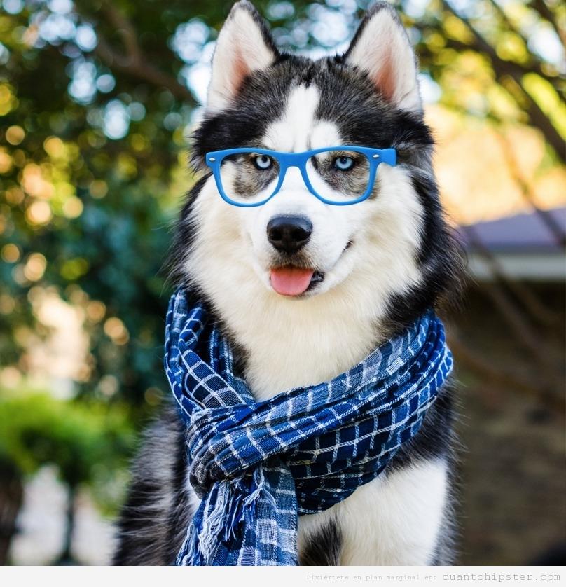 Perros huskies con look y moda hipster 2